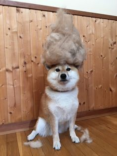 抜け毛マウンテンと解せぬ表情の柴犬wwwwwwwwww:ハムスター速報