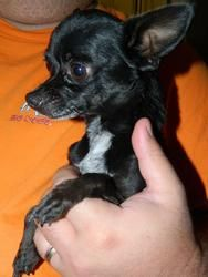 Jimmy - 3 pounds of cuteness! is an adoptable Chihuahua Dog in Henderson, NV. Come meet me on Friday, August 2, 2013, from 6:30 p.m. to 8:30 p.m. at the Petco located at 645 S. Green Valley Parkway in...