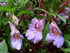 2011 garden addition, Impatiens arguta