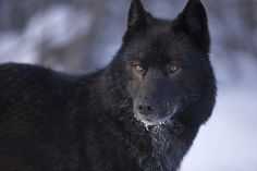 Bello lupo nero Beautiful black wolf black-wolf-dominant retriever man dot com jpg