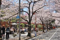 Cherry blossoms Sakura Tokyo Japan