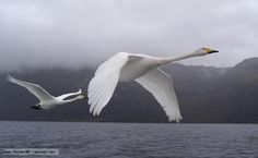 BBC Nature - Whooper swan videos, news and facts