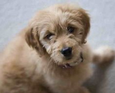Goldendoodle.  next dog?  why are they so $$$$$$   so cute with our aussiedoodle  oh decisions decisions