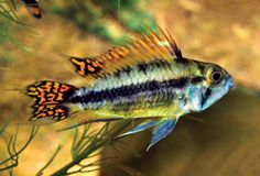 The Cockatoo Dwarf Cichlid (Apistogramma cacatuoides) (Full Article) | Details | Articles | TFH Magazine®