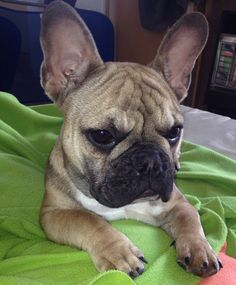 Disco the French Bulldog has Ginormous Ears❤️