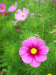 Cosmos - The Color Purple Beautiful Flowers Pictures, Flower Pictures, Cosmos Flowers, Pink Flowers, Flower Beds, My Flower, Magic Secrets, Trees To Plant, Blossoms