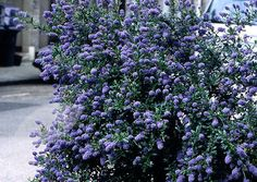Buy Californian lilac Ceanothus thyrsiflorus 'Skylark': Delivery by Waitrose Garden in association with Crocus California Lilac, California Native Garden, Evergreen Shrubs, Trees And Shrubs, Rare Flowers, Lilac Flowers, West Facing Garden, How To Attract Birds, Herbaceous Perennials