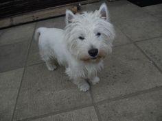 west highland terrier older | West Highland Terrier 7 Yr Old Boy