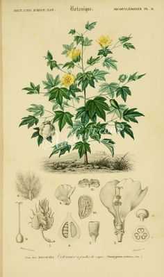 Sea Island cotton (gossypium vitifolium) illustrated by Charles Dessalines D& Orbigny Digitally enhanced from our own 1892 edition of Dictionnaire Universel D& Naturelle. Illustration Botanique, Plant Illustration, Botanical Illustration, Carrion Flower, Scientific Drawing, Impressions Botaniques, Cotton Plant, Fauna, Antique Prints