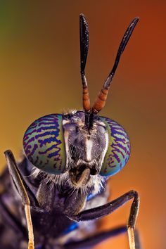 """""""Soldier fly"""" by Javier Torrent"""