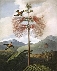 Large Flowering Sensitive Plant, engraved by Stadler after Philip Reinagle, in a book entitled The Temple of Flora by Dr Robert John Thornton (1768-1837). The book was published between 1799 and 1807. 1799