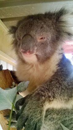 Gorgeous koala @ Humbug Scrub Wildlife Sanctuary South Australia.  Photo taken using mobile phone.