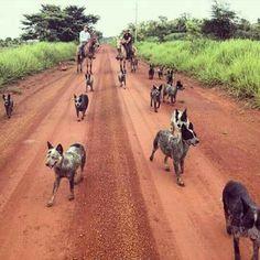 Purebred Star Australian Cattle Dog The Smart Living Network Aussie Cattle Dog, Austrailian Cattle Dog, Cattle Dogs, Horses And Dogs, Dogs And Puppies, Doggies, Pitbull, Herding Dogs, Dog Rules