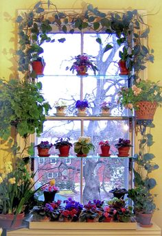 My African Violet Window Garden