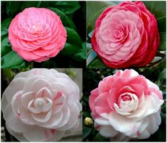 "Named ""Eighteen Scholars"" in Chinese in the layers and layers of petals-one flower can hold as much as 130 petals."