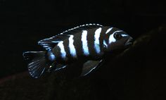 This is pseudotropheus demasoni from Malawi lake in Africa