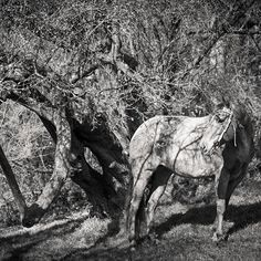 Billy the Beauty  #horse #pferd #quarterhorse #quarter #beauty #beautiful #equinephotography #pferdefotografie #lightroom #licht #und #schatten #monochrome #schwarz #weiss #black #and #white