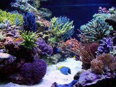 Reef Tank with primarily SPS hard corals Saltwater Aquarium Fish, Jellyfish Aquarium, Saltwater Tank, Reef Aquarium, Marine Fish Tanks, Marine Tank, Marine Aquarium, Nano Reef Tank, Reef Tanks