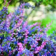 Top plants for summer color | Berberis thunbergii 'Rose Glow' | Sunset.com