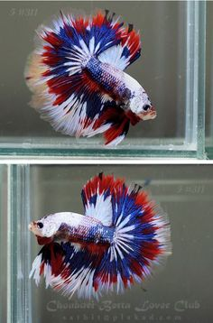 Happy Fourth of July from Rocky Mountain WaterScape! Enjoy! Male Betta - Red, White & Blue