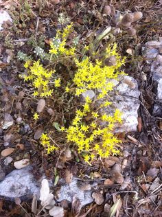 Mountain flowers in June 2016 Valle de Laguar, Spain