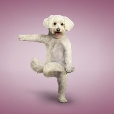 8 Cute Puppies doing Yoga, please visit the site and experience more cuteness. Funny Dogs, Funny Animals, Cute Animals, Dog Doing Yoga, Yoga Dog, Can Dogs Eat Corn, Cute Puppies, Cute Dogs, Animal Yoga