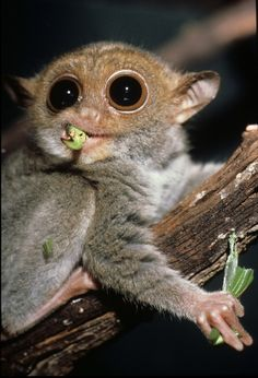 The Philippine tarsier or mawmag is a species of tarsier endemic to the Philippines. It measures only about 8.5-16 cm in height and 80–160 g making it one of the smallest primates. The eyes are fixed in its skull and its round head can rotate 180 degrees. The huge eyes provide this nocturnal animal with excellent night vision; the ear allows to hear any movement. Its diet consists of live insects, small crustaceans, and small vertebrates such as small lizards and birds.