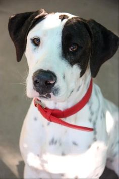 Hello. I'm Linzy! I was a lost girl that came to the #Dakabin #rspcaqld centre. Now I'm searching for my second chance. I'm a well mannered pooch who is looking for a moderately active home. I'm just a goofy girl who can be a bit stubborn, but that's me! I will be the most loyal friend you will ever have. I'm just $315 so be sure to head out and meet me! I can't wait to start my new adventure with you #adoptapet #greatdane #rspca #rescuepet #dog #pretty Rescue Dogs For Adoption, Boxer Rescue, Animal Rescue, Lost Girl, Homemade Dog Treats, Shelter Dogs, Puppys, Animals Beautiful, Dog Love