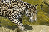 The jaguar has a powerful, compact body built for stealth and sudden attacks. Revered by cultures throughout the Americas, jaguars face mounting challenges as humans convert their habitat for other uses. - Wildlife Conservation Society