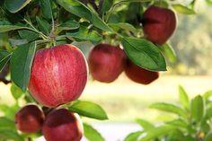 Pommes d'aujourd'hui : Une pomme des années 50 correspond à 100 pommes d'aujourd'hui. Aujourd'hui on mange de plus en plus pour se nourrir de moins en moins