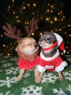 Christmas chihuahuas http://ift.tt/2D192FF
