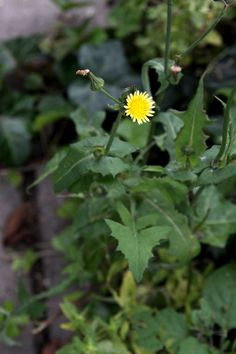 Healing Weeds: Sow Thistle ____ Healing Weeds Getting a closer contact with the healing world of herbs and wild plants. Edible Plants, Edible Flowers, Healing Herbs, Medicinal Plants, Herbal Medicine, Natural Medicine, Wild Edibles, Native Plants, Outdoor Gardens