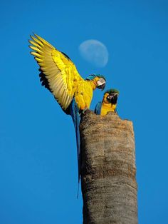 Spectacular pic of magnificent birds... blue-and-yellow macaws, Mineiros, Goiás, Brazil #ParrotOTD. Pic by Andréa Ferreira via @wikiaves.
