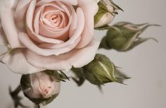 elegant-pink-rose-flower-plain