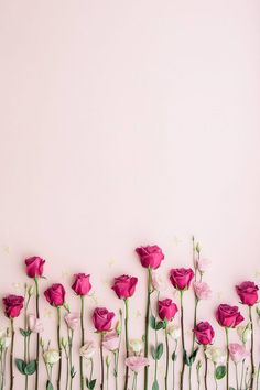 Pink roses on a pink background by Ruth Black for Stocksy United - Blumen Rosen - Rose Wallpaper, Colorful Wallpaper, Screen Wallpaper, Nature Wallpaper, Wallpaper Desktop, Iphone Wallpapers, Floral Wallpaper Iphone, Pinky Wallpaper, Shabby Chic Wallpaper