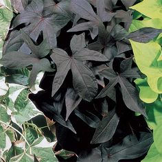 Blackie Sweet Potato Plant - $16.95, pack of 6!!!!