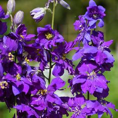 Consolida ajacis 'Blue Spire' (Larkspur) Garden Plants, Flowering Plants, Delphinium, Cut Flowers, Planting Flowers, Blue, Gardening, Nantes, Shade Perennials