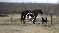 Ló és kutya különleges barátsága- Figyeld hogyan játszanak együtt!