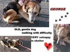 ***URGENT***  GEORGE, currently in Nasaud, Romania  Very old, gentle and extremely unhappy in shelter. Walks with difficulty. In URGENT need of a place to live out his remaining days.