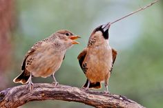 Sociable Weavers - Highly entertaining birds that are found all over the Northern Cape. Well worth sitting and watching a colony for a few minutes! Best Blogs, Animal Photography, Cape, Birds, Entertaining, Animals, Mantle, Cabo, Animales