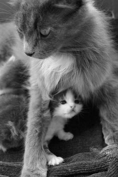 Adorable cat mom protecting her kitten Pretty Cats, Beautiful Cats, Animals Beautiful, Cute Kittens, Cats And Kittens, I Love Cats, Crazy Cats, Bb Chat, Baby Animals