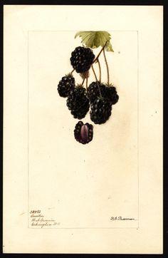 Artist:Passmore, Deborah Griscom, 1840-1911 Scientific name:Rubus Common name:brambles Variety:Lawton art original : col. ; 17 x 25 cm.