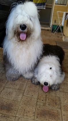 Old English sheepdog Dylan and Daisy been digging