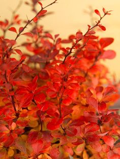 Best Plants for Hedges: Japanese Barberry