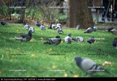 http://www.photaki.com/picture-flock-of-pigeons-in-a-park_142508.htm