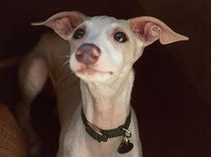 sweet lil ears on that italian greyhound