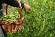 La flor del calabacín: Lo que todo el mundo debería saber antes de lanzarse a tener un huerto familiar, y una receta de zanahorias asadas con miel y guisantes {Ottolenghi's carrots & peas}