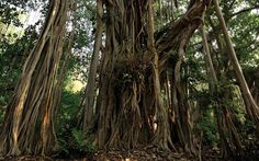 Banyan trees are almost all roots, which extend far beyond any normal tree. They are found in Vanuatu