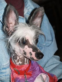 Peruvian Hairless Dog Rescue