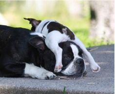 ♥ That looks like a momma's little girl!  The love of a Boston Terrier is the best medicine for any ailment!